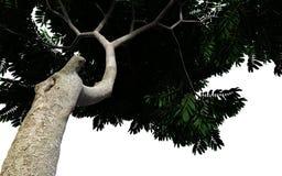 Πράσινο δέντρο sumac που απομονώνεται στο άσπρο υπόβαθρο Στοκ Φωτογραφίες