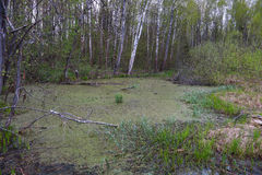 Πράσινο έλος με τη χλόη και τους Μπους Στοκ Εικόνα