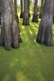 πράσινο έλος Στοκ Εικόνες