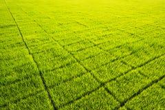 Πράσινο αγρόκτημα σποροφύτων ορυζώνα Στοκ Εικόνα