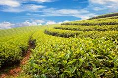 Πράσινο αγρόκτημα τσαγιού στοκ εικόνα με δικαίωμα ελεύθερης χρήσης