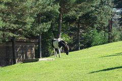 Πράσινο αγρόκτημα χλόης με την κατανάλωση αλόγων Στοκ Φωτογραφίες