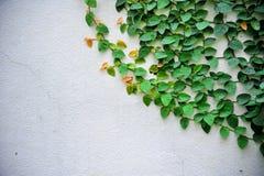 Πράσινο αναρριχητικό φυτό Στοκ φωτογραφίες με δικαίωμα ελεύθερης χρήσης