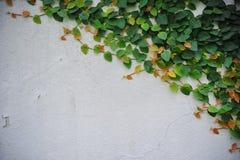 Πράσινο αναρριχητικό φυτό Στοκ εικόνες με δικαίωμα ελεύθερης χρήσης