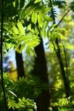 πράσινο απίστευτο φύλλο φυλλώματος Στοκ εικόνα με δικαίωμα ελεύθερης χρήσης