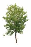 πράσινο απομονωμένο δέντρ&omicron Στοκ φωτογραφία με δικαίωμα ελεύθερης χρήσης