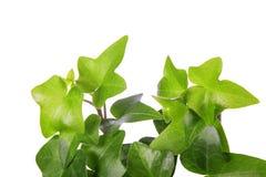 πράσινο απομονωμένο λευκό κισσών Στοκ εικόνες με δικαίωμα ελεύθερης χρήσης