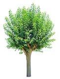 πράσινο απομονωμένο θερινό δέντρο Στοκ Εικόνα