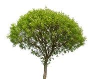 πράσινο απομονωμένο λευκό δέντρων Στοκ Φωτογραφίες