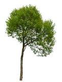 πράσινο απομονωμένο λευκό δέντρων Στοκ φωτογραφία με δικαίωμα ελεύθερης χρήσης