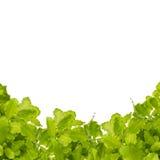 πράσινο απομονωμένο λευκό σαλάτας Στοκ Φωτογραφία