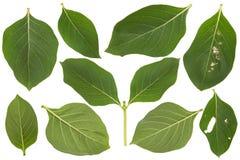 πράσινο απομονωμένο λευ&kap στοκ φωτογραφίες