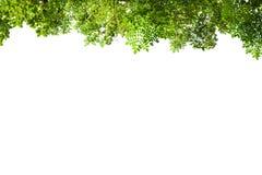 πράσινο απομονωμένο λευ&kap Στοκ φωτογραφία με δικαίωμα ελεύθερης χρήσης
