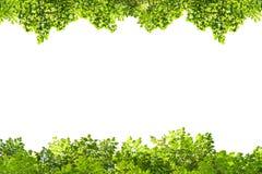 πράσινο απομονωμένο λευ&kap Στοκ φωτογραφίες με δικαίωμα ελεύθερης χρήσης