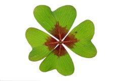 Πράσινο απομονωμένο με φύλλα τριφύλλι Στοκ Εικόνα