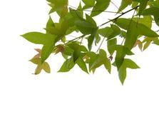 Πράσινο απομονωμένο φύλλο σφενδάμου calcaratum Gagnep Acer Στοκ Φωτογραφία