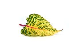 πράσινο απομονωμένο φύλλο σύνθεσης κίτρινο Στοκ Εικόνες
