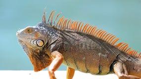 Πράσινο αρσενικό όμορφο πολύχρωμο ζωικό, ζωηρόχρωμο ερπετό Iguana στη νότια Φλώριδα στοκ εικόνα με δικαίωμα ελεύθερης χρήσης