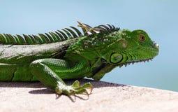 Πράσινο αρσενικό όμορφο πολύχρωμο ζωικό, ζωηρόχρωμο ερπετό Iguana στη νότια Φλώριδα Στοκ Φωτογραφία