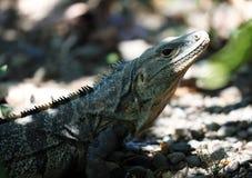 Πράσινο αρσενικό όμορφο πολύχρωμο ζωικό, ζωηρόχρωμο ερπετό Iguana στη Κόστα Ρίκα Στοκ φωτογραφία με δικαίωμα ελεύθερης χρήσης