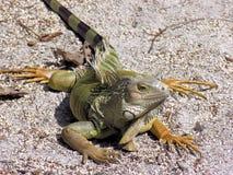 πράσινο ασήμι iguana Στοκ φωτογραφία με δικαίωμα ελεύθερης χρήσης