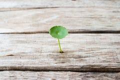 Πράσινο ασιατικό wort πενών (ella σεντ ασιατικό) στο ξύλινο backgrou Στοκ φωτογραφίες με δικαίωμα ελεύθερης χρήσης