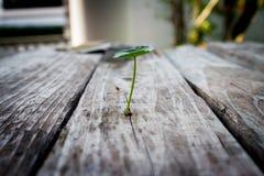 Πράσινο ασιατικό wort πενών (ella σεντ ασιατικό) στο ξύλινο backgrou Στοκ εικόνες με δικαίωμα ελεύθερης χρήσης