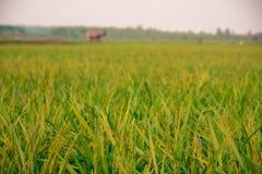 Πράσινο αυτί του ρυζιού στον τομέα ρυζιού ορυζώνα Στοκ φωτογραφία με δικαίωμα ελεύθερης χρήσης