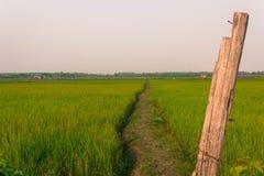 Πράσινο αυτί του ρυζιού στον τομέα ρυζιού ορυζώνα Στοκ Εικόνα