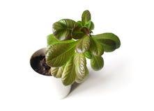 Πράσινο λαχανικό φύλλων Στοκ Φωτογραφία