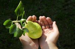 πράσινο αχλάδι heands παιδιών Στοκ Εικόνα