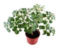 Πράσινο βασικό φυτό στο δοχείο λουλουδιών Στοκ φωτογραφία με δικαίωμα ελεύθερης χρήσης