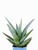 Πράσινο βασικό φυτό στο δοχείο λουλουδιών Στοκ εικόνα με δικαίωμα ελεύθερης χρήσης