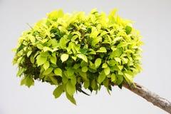 Πράσινο βασικό φυτό Στοκ εικόνα με δικαίωμα ελεύθερης χρήσης