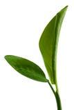 Πράσινο βασικό φυτό Στοκ Εικόνα