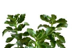 Πράσινο βασικό φυτό Στοκ φωτογραφίες με δικαίωμα ελεύθερης χρήσης