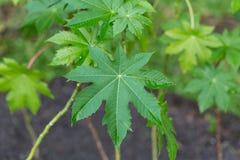 Πράσινο βοτανικό φύλλο στοκ εικόνα