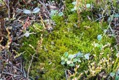 πράσινο βρύο Βλάστηση βουνών Λιβάδι βουνών Κινηματογράφηση σε πρώτο πλάνο άγριων εγκαταστάσεων Στοκ Εικόνες