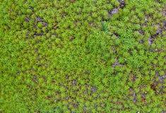 Πράσινο βρύο σε έναν βράχο Στοκ Εικόνα