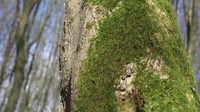 Πράσινο βρύο σε ένα ξύλινο κολόβωμα φιλμ μικρού μήκους