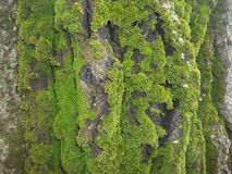 Πράσινο βρύο στα τρία στοκ εικόνα με δικαίωμα ελεύθερης χρήσης
