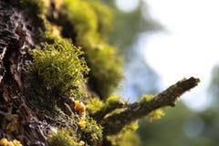 Πράσινο βρύο στον κορμό 2 δέντρων Στοκ Εικόνες