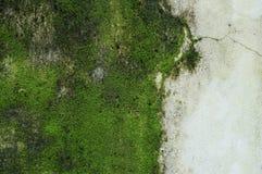 Πράσινο βρύο στον τοίχο. Στοκ Εικόνα