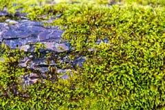 Πράσινο βρύο στο φλοιό δέντρων οριζόντιο Στοκ εικόνα με δικαίωμα ελεύθερης χρήσης