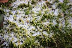 Πράσινο βρύο, το οποίο καλύφθηκε με το πρώτο χιόνι το φθινόπωρο Ο χειμώνας έρχεται στοκ εικόνα