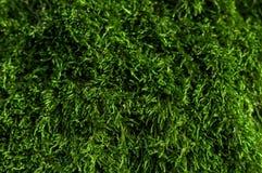 πράσινο βρύο Στοκ εικόνες με δικαίωμα ελεύθερης χρήσης