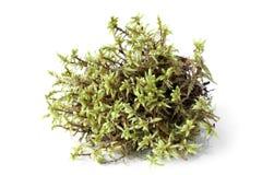 Πράσινο βρύο (schreberi Pleurozium) Στοκ Φωτογραφία