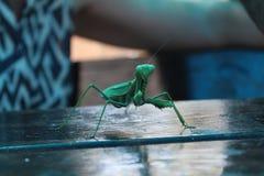 Πράσινο γιγαντιαίο έντομο Στοκ Φωτογραφίες