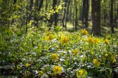 Πράσινο δάσος κατά τη διάρκεια της άνοιξης Κίτρινα λουλούδια με το σύντομο χρονογράφημα Στοκ φωτογραφία με δικαίωμα ελεύθερης χρήσης