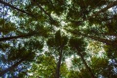 Πράσινο δέντρο από την από κατω έως επάνω άποψη belgrad δασική Κωνσταντινούπολη Στοκ εικόνα με δικαίωμα ελεύθερης χρήσης